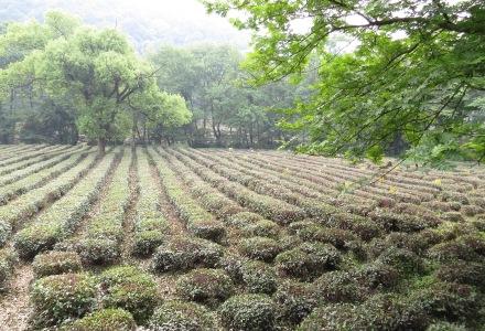Pola herbaty Longjing