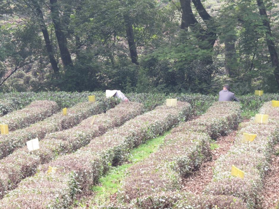 Mieszkańcy wioski Longjing zbierający liście herbaty