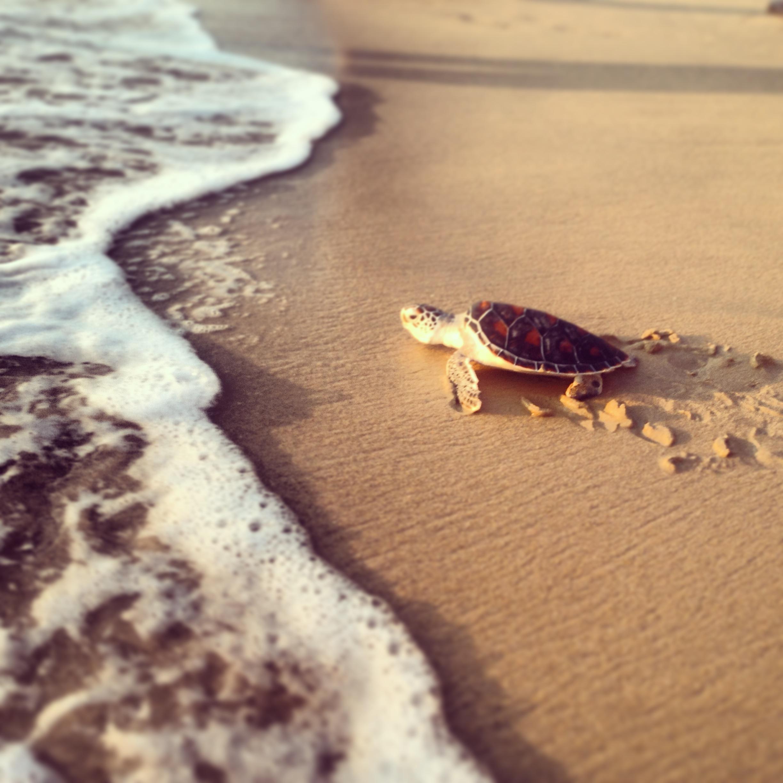 Uwolnić żółwie! Po kilku latach spędzonych w ośrodku ochrony żółwi morskich, żółwie zostały wypuszczone do oceanu. Czekaliśmy na ten moment bardzo długo. Powodzenia maluchy. Szerokiej drogi!