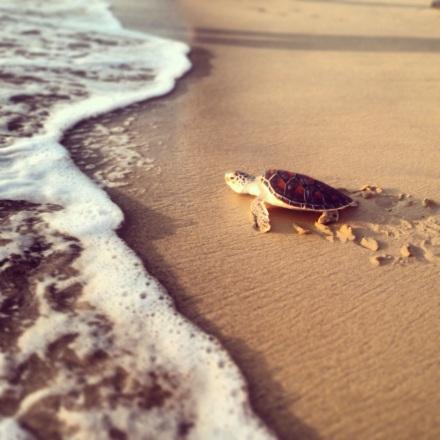 żółwie w Tajlandii, Tajlandia, żółwie morskie