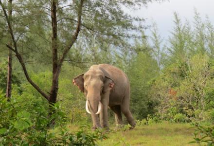 słonie w Tajlandii, ochrona słoni, Tajlandia
