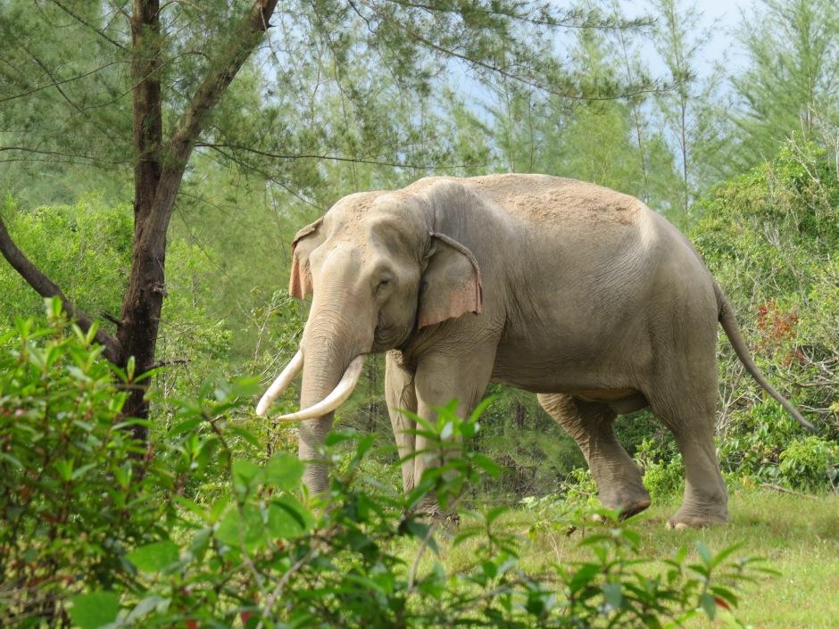 słoń w tajlandii, tajlandia